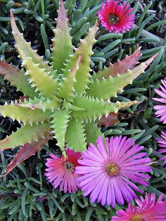 Succulants - the pink flowers are ice plants. Would love to have several kinds of those!