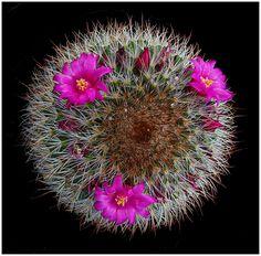 Mammillaria pilcayensis - Flickr - Photo Sharing!