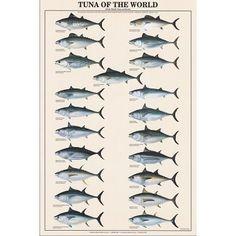Tuna of the World Fish Chart Poster