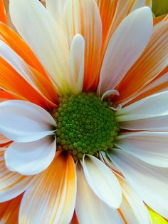 Orange Sherbet Daisy