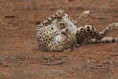 Big Cats, Cheetah, Lazy, Animals, Animales, Animaux, Animal, Animais
