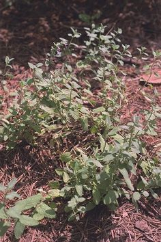 Catmint mosquito repelling plants. http://wwwhibiscusandmore.blogspot ... Find a farmers market near you. farmersme.com