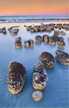 """Stromatolites in Shark Bay, Australia - stromatolites are """"living fossils"""" formed by bacteria colonies. Stromatolites formed in shallow seas more than 3 billion years ago. Western Australia, Australia Travel, Visit Australia, Oh The Places You'll Go, Places To Travel, Travel Destinations, Beautiful World, Beautiful Places, Beautiful Beach"""