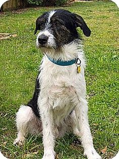Pictures of Baker a Irish Wolfhound/Border Collie Mix for adoption in Acworth, GA who needs a loving home.
