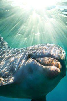 El #Delfín nariz de botella; #MamíferoMarino, adaptado para vivir en los  mares. Dolphins ...