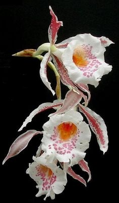 Exotic Orchids| Serafini Amelia| Trichopilia