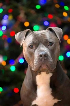 Blue Nose Pitbulls is one of the popular Pit breeds. Find out why the blue and red nose color occurs in other pitbull dog breeds. Enjoy reading our guide about this pitbull breed Pitbull Terrier, Amstaff Terrier, Bull Terriers, Terrier Mix, Rottweiler, I Love Dogs, Puppy Love, Cute Dogs, Beautiful Dogs