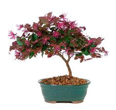 The Fringe Flower Bonsai Tree is known for its explosion of the vivid maroon blooms that form a honeysuckle-like flower with sparks of deep purple and magenta. This bonsai is a sure favorite for home decor or patio decorations. It will bloom in May and will provide a splash of seasonal color to a patio, porch, or even inside desk if given sufficient sunlight.
