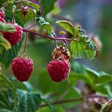 How to Grow Organic Raspberries in Your Garden