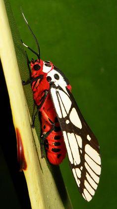 Arctiid Moth (Areas galactina, Arctiinae) by itchydogimages