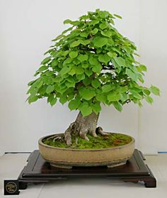 Tilia cordata, Winterlinde, Bonsai #bonsai