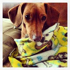 #dachshund #teckel #dog