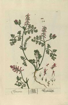 img/gravures anciennes de plantes medicinales/fumaria.jpg