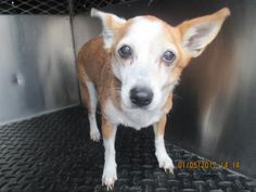 Adopt 519710, a lovely male senior 8y 2m Chihuahua, Short Coat / Mix available for adoption at City of Bakersfield Animal Care Center, Bakersfield,CA.