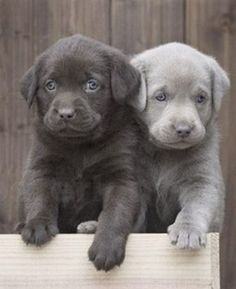 Charcoal and Silver Lab Pups