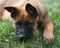 Belgian Malinois puppy!!