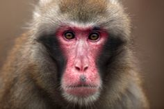 Hey, hey, it's the snow monkeys at Lincoln Park Zoo  Enter, snow monkeys.  http://www.chicagotribune.com/entertainment/ct-ent-0122-macaque-forest-lincoln-park-zoo-20150121-column.html