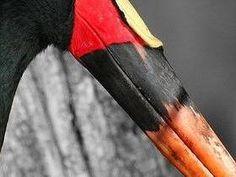Yabiru ( Ephippiorhynchus senegalensis) - el ave más grande de la familia de las cigüeñas. Hombre longitud del cuerpo 1,46 m, y un peso promedio de 6 kg. En este caso, su envergadura alcanza 2,4 m Las hembras más pequeñas, pero la belleza del plumaje o de ninguna manera inferior a los hombres.Cuello, la cabeza, la cola y las alas de ambos sexos de ...