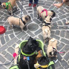 Learning about pug history...PugsTakeBoston #pug #pugs #puglia #puggle #puggy