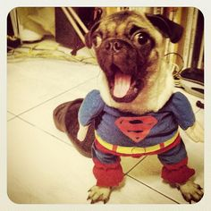 Super excitement pug!!