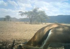I just classified this image on Snapshot Serengeti! Gazelle  (possible  Grants) with itch