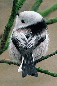 Codibugnolo pichón, El mito es un ave paseriforme de la familia Aegithalidae que se encuentra en los bosques y los sotos de gran parte de la península ibérica. Se caracteriza por su cola, más larga que el resto del cuerpo.