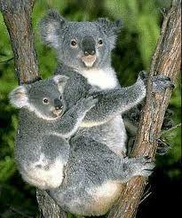 'Koala and Baby