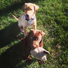 This is me and my brother, Cooper.  We are pals, best buds, bros4life.  www.grinandBEARitblog.com Wit And Wisdom, Best Bud, Labrador Retriever, Brother, Folk, Bear, Cute, Animals, Labrador Retrievers