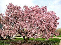 It's not home without a pink magnolia.