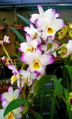 Orquídea Dendrobium Nobile Gigante - Jardim Exótico - O maior portal de mudas do Brasil.