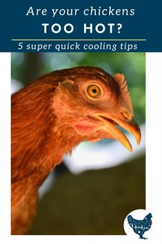 Are your chickens suffering from the heat? How do you keep chickens cool in the summer? We've got it all answered in this cool and breezy post. Portable Chicken Coop, Best Chicken Coop, Chicken Feed, Building A Chicken Coop, Chicken Eggs, Chicken Coops, Chicken Life, Summer Chicken, Farm Chicken