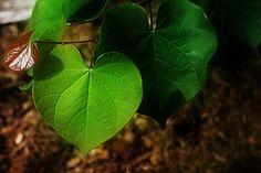 redbud leaf #leaves #hearts