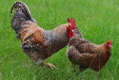 Bielefelder chickens