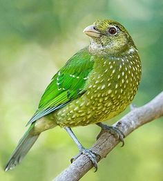 Green Catbird, Ailuroedus crassirostris, is found in subtropical forests along the east coast of Australia. It is named for its distinctive call which sounds like a cat meowing