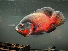"OSCAR FISH BRAZIL on Instagram: ""Amazing red! ❤️ Thank you! 📷 @theblindoscar 🐟 🐟 🇧🇷 Oscar Fish Brazil 🇧🇷🐟❤️🐟 🐟 Follow 🐟 @oscarfishbrazil 🐟 Partnership 🐟 @aquaticabrazil 🐟 🐟…"" Oscar Fish, Freshwater Aquarium Fish, Amazing Red, Fresh Water Tank, African Cichlids, Beautiful Fish, Tropical Fish, Fish Tank, Brazil"