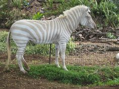 Zebra (Equus) in its own form of albinism.