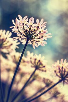 ♂ Flowers Queen Annes Lace flowers by Vicki Field