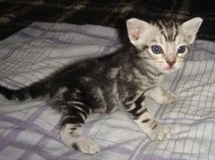 Black silver Ocicat Classic boy aged 3 weeks  Vervain Cats  #kittens  www.vervain-cats.co.uk