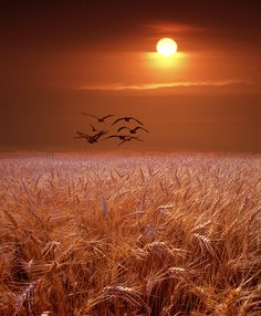 Wheat Field Sunset – Amazing Pictures - Amazing Travel Pictures with Maps for All Around the World