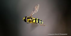 Episyrphus balteatus... I think.