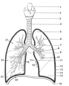 Respiratory System Coloring Sheets respiratory system coloring page coloring trend medium size Respiratory System Coloring Sheets. Here is Respiratory System Coloring Sheets for you. Respiratory System Coloring Sheets stomach coloring page at ge. Coloring Pages For Grown Ups, Free Adult Coloring Pages, Animal Coloring Pages, Coloring Pages To Print, Free Printable Coloring Pages, Coloring For Kids, Coloring Books, Coloring Sheets, Respiratory System Anatomy