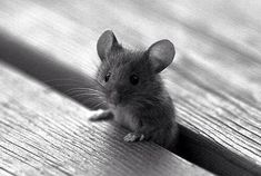 Mouse Cute little Critter Cute Creatures, Beautiful Creatures, Animals Beautiful, Cute Baby Animals, Animals And Pets, Funny Animals, Wild Animals, Animal Pictures, Cute Pictures