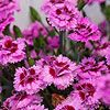 Full-sun, reblooming, hardy. White, burgundy, lavendar, lilac and orchid. Dianthus EverLast series