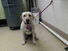 ~~DIES JUNE 12, 2017 - needs an adoption hold by 5:30pm OR a rescue group to claim by 5:50pm MONDAY 6/12 local foster needed❗~ HOUSTON-EXTREMELY URGENT - This DOG - ID#A485491 I am a female, yellow Setter/retrieve. Harris County Public Health and Environmental Services. https://www.facebook.com/harriscountyanimalshelterpets/videos/1555263337870792/