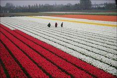 tulip-fields29.jpg (640×427)