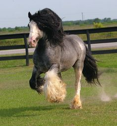 """Easily recognized for their leg feathering and common black and white or """"piebald""""coat color, the Blue Roan version of the beautiful Gypsy horse is considered most rare."""