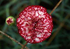 "Title:""Red And White Carnation Flower"" (Artist:Johnson Moya) Medium:Photograph - Photograph Carnation Colors, White Carnation, Red Flowers, Pretty Flowers, January Birth Flowers, Carnation Tattoo, Tattoo Colors, Flora Design, Flower Artists"