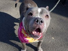 Manhattan Center DIAMONDS – A1070261 **SAFER: AVERAGE HOME** FEMALE, GRAY / WHITE, AM PIT BULL TER MIX, 2 yrs STRAY – STRAY WAIT, NO HOLD Reason STRAY Intake condition ILLNESS Intake Date 04/13/2016, From NY 10474, DueOut Date 04/16/2016,