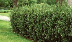 Bilde av BLANKMISPEL Cotoneaster Lucidus, Planters, Exterior, Fruit, Garden, Image, French, Pictures, Garten