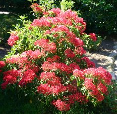 kalmia latifolia « ostbo red » ou laurier des montagnes rouge